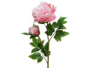 Peonia rózsaszin